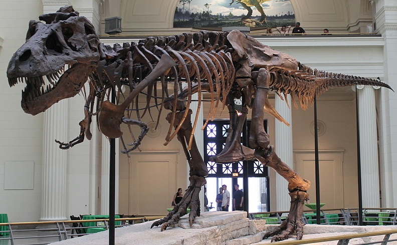 Sue, the most complete fossil skeleton of a Tyrannosaurus Rex specimen ever found, , Field Museum of Natural History, Chicago. Photo- WikiCommons