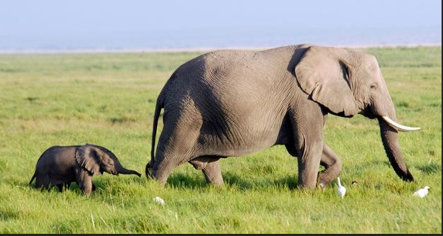An African elephant journeys with her baby through the grasslands of Amboseli National Park. (BBC)