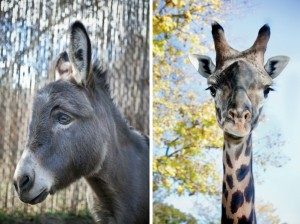 Patient (lft)- Willie, donkey has depression over change in habitat.Patient-(right) Sukari, Masai giraffe, has Anxiety around people with large cameras. CreditRobin Schwartz for The New York Times