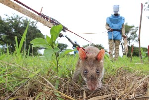 A Gambian pouched rat clears a minefield in N. Angola. Credit-N. Kristof:NYT