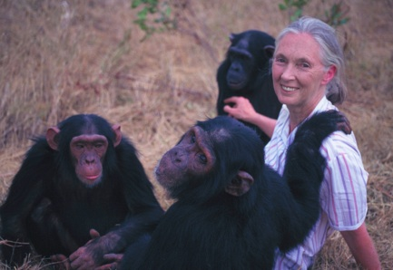 Jane Goodall with chimps. Photo- wildchimpanzees.org