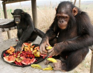Research reveals that Chimps prefer cooked food. Photo utahthepeoplespost