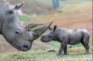 A three-day-old white rhino calf. Photo-sandiegozoo.org
