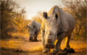 White Rhinos. Photo- Shannon Benson