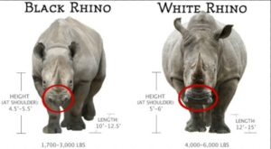 black and white rhino comparison. (Thompson Safaris) Kruger Park