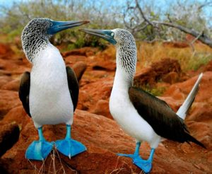 Blue-Footed-Booby.-image-savenature--300